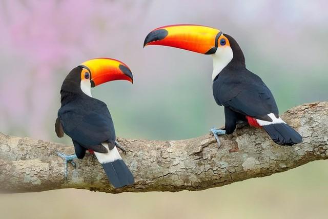"""Khi thời tiết lạnh, chim Toucan giảm lượng máu tới mỏ để duy trì nhiệt độ cơ thể và ngược lại nó sẽ làm mát cơ thể, hạ nhiệt nhanh bằng cách tăng lượng máu lên mỏ. Họ quả thật bất ngờ khi kết luận: """"Mỏ chim Toucan giống như một máy điều hòa nhiệt độ cơ thể""""."""