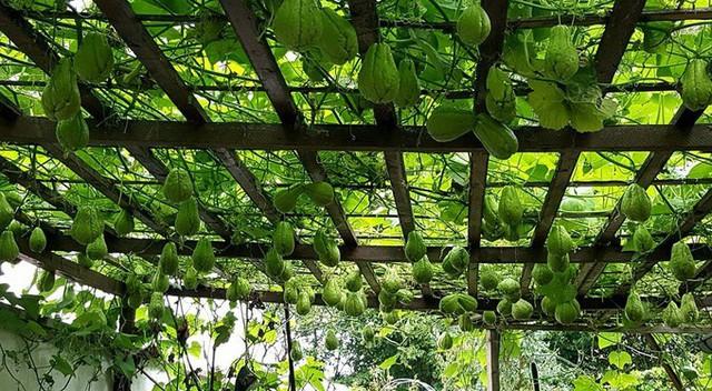 Giống su su được anh Duy Ngọc (ở gần thành phố Frankfurt, Đức) đưa từ Việt Nam sang để trồng từ năm 2010. Ban đầu anh chỉ mang hai quả để trồng, sau đó nhân được giống và trồng suốt những năm qua.