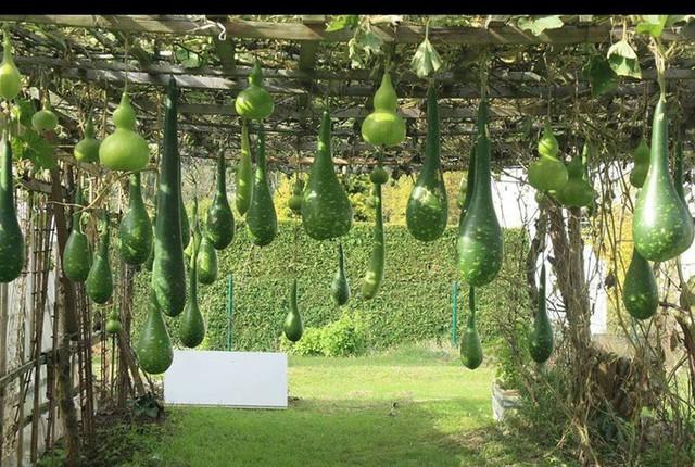 Ngoài su su, anh Ngọc lại trồng bầu xanh mướt và cũng sai quả không kém.