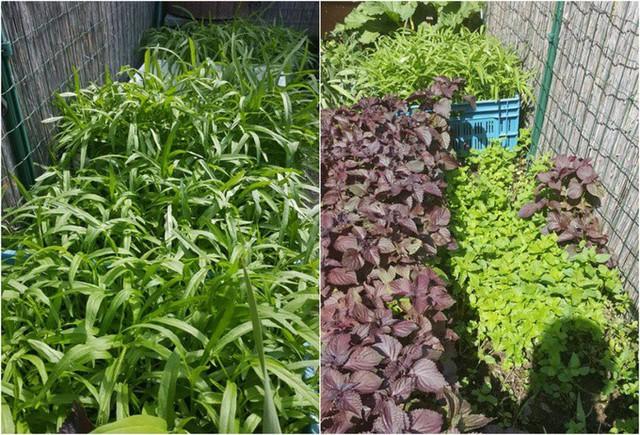 Trong vườn nhà anh cũng không thể thiếu những loại rau, rau thơm của Việt Nam để phục vụ bữa ăn hằng ngày của gia đình.