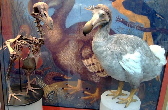 Hình ảnh chim Dodo tại Viện Bảo tàng Lịch sử tự nhiên thuộc Đại học Oxford (Anh). (Ảnh: Wikimedia).