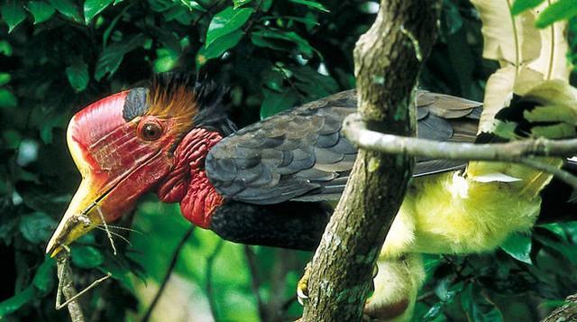 Theo ước tính, khoảng 6.000 con chim bị giết mỗi năm để lấy sừng.