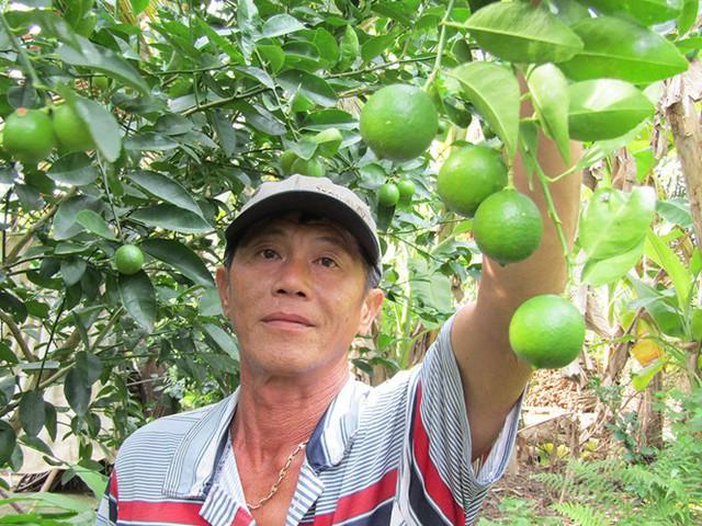 Nhờ trồng chanh giấy trứng ngỗng ông Hùng có tiền tỉ mỗi năm. Ảnh: TRƯƠNG THANH LIÊM