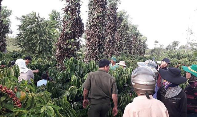Hơn 100 trăm gốc tiêu của gia đình bà Nhã bị kẻ gian chặt. Ảnh: Minh Lộc.