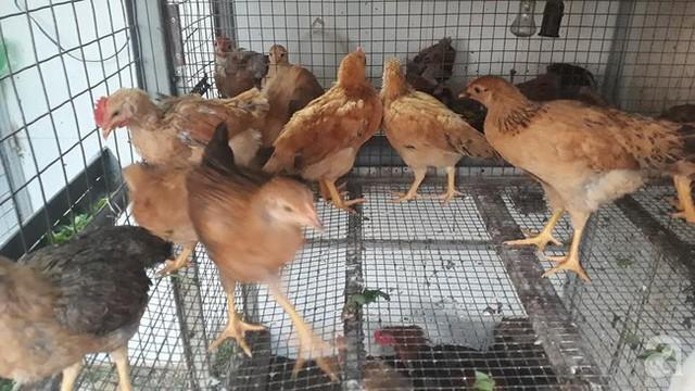 Anh Toàn còn nuôi thêm gà lấy thịt và lấy trứng.