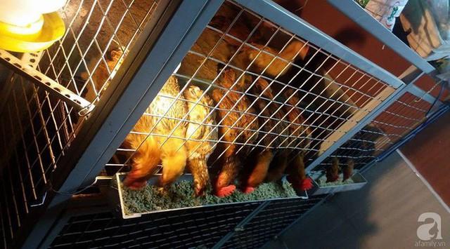 Anh chia thành nhiều ngăn để nuôi gà nhiều lứa khác nhau.