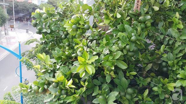 Cây chanh được mùa trên sân thượng.