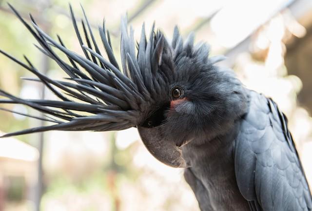 Palm Cockatoo thường xuất hiện đơn lẻ, theo cặp hoặc theo một nhóm nhỏ khoảng 5-7 cá thể. Trong tự nhiên chúng thường ăn quả cọ dứa hoang, trái trám, các loại hạt, trái cây, hoa quả, và nụ lá.