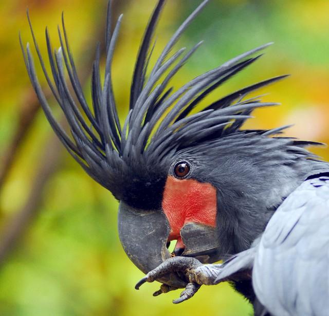 Palm Cockatoo làm tổ ở trong các hốc cây đứng, đường kính tổ khoảng 25-60cm. Mùa sinh sản của chúng tùy thuộc vào từng vùng, tuy nhiên thường bắt đầu từ tháng 8 đến tháng giêng năm sau. Mỗi tổ của Palm Cockatoo chỉ đẻ duy nhất 1 quả trứng. Trứng được ấp bởi cả trống và mái, thời gian ấp từ 28-31 ngày cộng thêm khoảng 3-4 ngày nở. Con non nở ra hoàn toàn không có lông và phải mất tới 100-110 ngày để mọc đủ lông trên cơ thể.