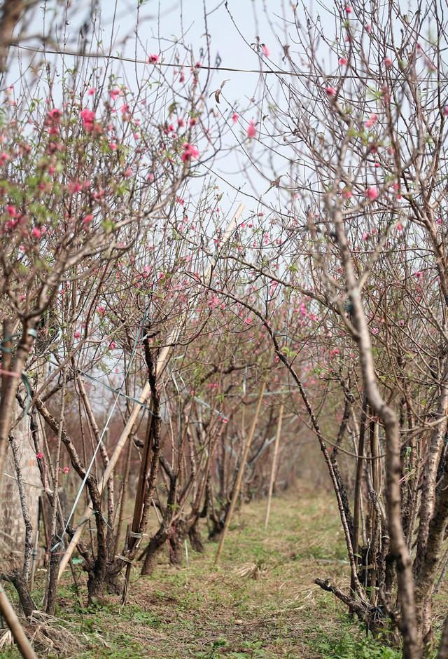 Hàng năm, nông dân Nhật Tân đều điều cho đào nở sớm phục vụ Tết Dương lịch. Hầu hết đây là những gốc đào già, đào lâu năm, cả dáng và thế cũng như chất lượng hoa không bằng đào chính vụ.
