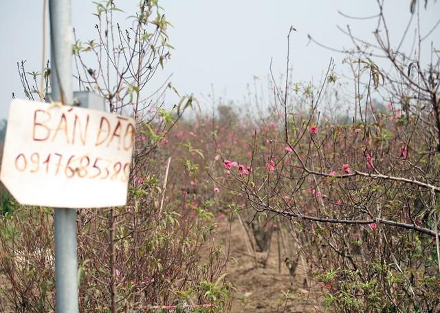 Một số hộ nông dân đã treo biển bán đào ngay đầu ruộng.