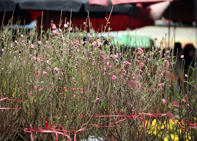 Tại chợ hoa Quảng An, hàng trăm cành đào lớn nhỏ được bày bán phục vụ thú chơi đào sớm của người dân.