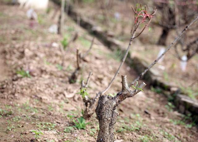 Những gốc đào nhỏ đã được cắt bán và nông dân tiến hành chăm sóc phục vụ Tết năm tới.