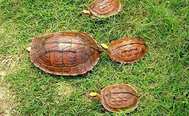 Trước đây, rùa vàng khá phổ biến ở núi rừng nước ta.