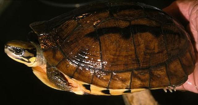 Điểm nhận dạng đặc trưng của loài rùa này là trên mai có 3 vạch màu xám đen, chạy theo 3 gờ nổi