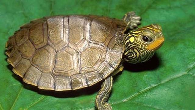 Nhiều người đã đổi đời khi bắt được rùa vàng.