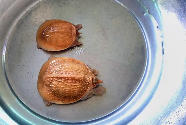 Cặp rùa đột biến có màu vàng của anh Cường.
