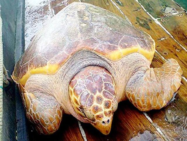 Con rùa vàng nặng 70kg cực quý hiếm.