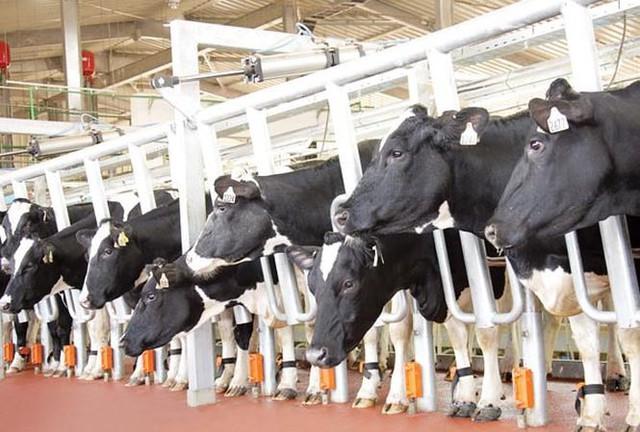 Mỗi con chip thông minh đeo dưới chân bò sữa TH có thể theo dõi sức khỏe từng cá thể bò, phát hiện các bệnh gây ảnh hưởng tới chất lượng sữa (như viêm vú bò) trước 4 ngày, từ đó bò ốm kịp thời được cách ly và trị bệnh. Vì vậy, dòng sữa TH là dòng sữa tốt nhất, tươi và sạch nhất từ những bò sữa khỏe mạnh nhất, tránh hoàn toàn tình trạng dòng sữa chứa cả bạch cầu, dịch viêm, máu hay dư lượng kháng sinh.