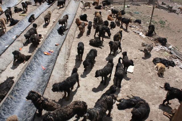 Chó ngao bị bỏ hoang tại Trung Quốc.