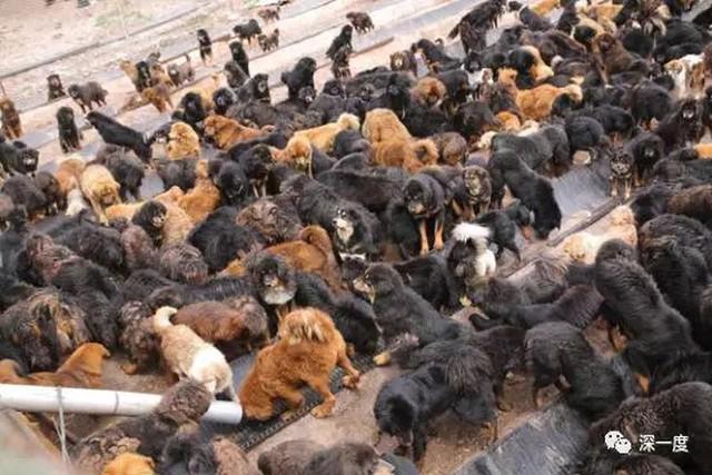Những cơ sở hoạt động vì động vật đã nuôi nhốt hàng trăm con chó ngao chen chúc nhau chờ được phân phát cho thức ăn - hình ảnh hoàn toàn trái ngược với cách người ta tung hô chúng trước đây. Hiện tại, thức ăn của chó Ngao Tây Tạng chỉ đơn giản là loại vô cùng rẻ tiền.