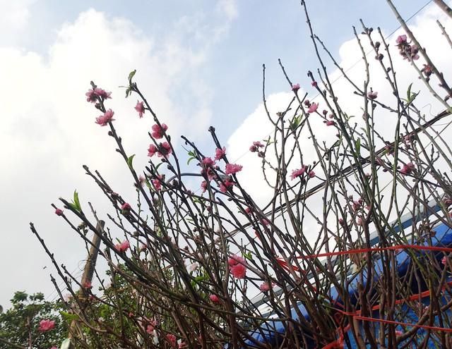 Những cành đào xuất hiện khá nhiều hoa, nụ và lộc.