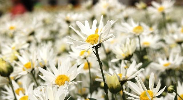 Từ cuối tháng tháng 11, hoa cúc trong vườn của anh Hạnh đua nở.