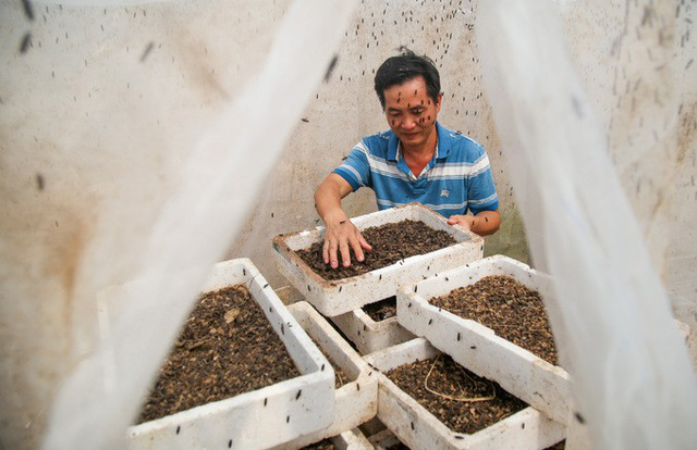 Ông Bé cho biết, sau khi trừ hết chi phí, mỗi tháng trại thu được hơn 100 triệu đồng từ bán trứng ruồi.