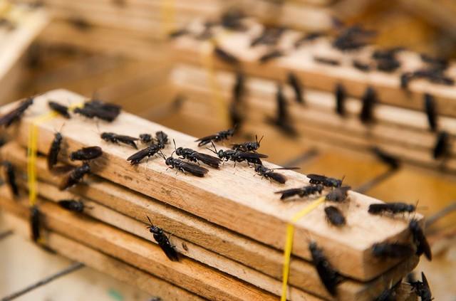 Ruồi lính đen có tên khoa học là Hermetia illucens, là một loại ruồi được nhiều nước trên thế giới nuôi. Ấu trùng của chúng là thức ăn giàu dinh dưỡng cho chăn nuôi lợn, gia cầm, thủy sản. Loài này còn sử dụng để xử lý chất thải trong nông nghiệp, làng nghề.