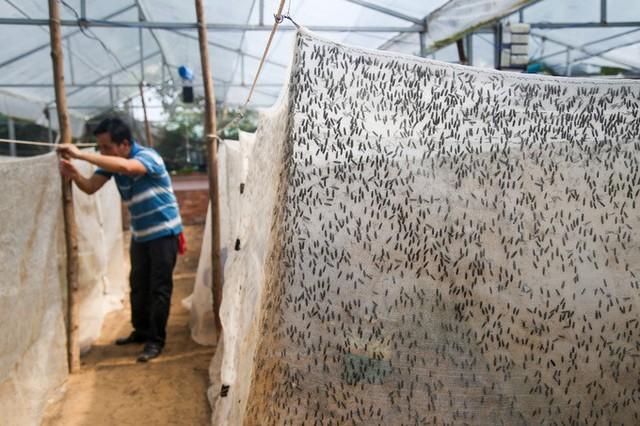 Chuồng nuôi được thiết kế bằng vải mùng, có diện tích từ 10 đến 30 m2 và luôn khép kín để chúng khỏi bay ra ngoài. Mỗi chuồng ông thả khoảng 100.000 con ruồi.