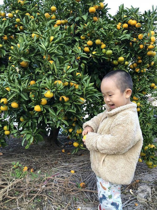 Những cây cam trĩu quả trong vườn.