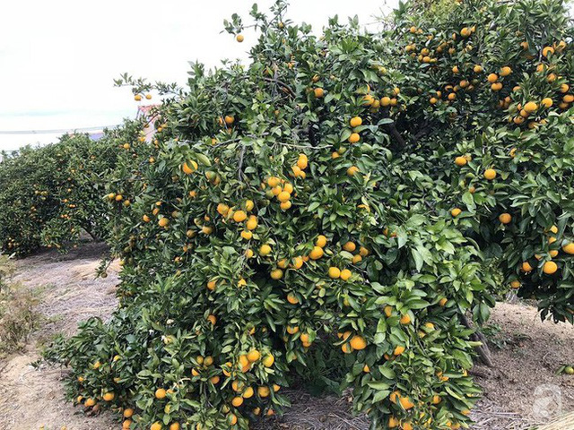 Một góc trồng cam.