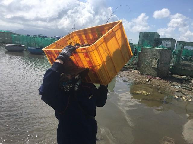 Người dân mang tôm hùm từ biển vào bán cho thương lái với giá bèo bọt, hi vọng vớt vát chút vốn.