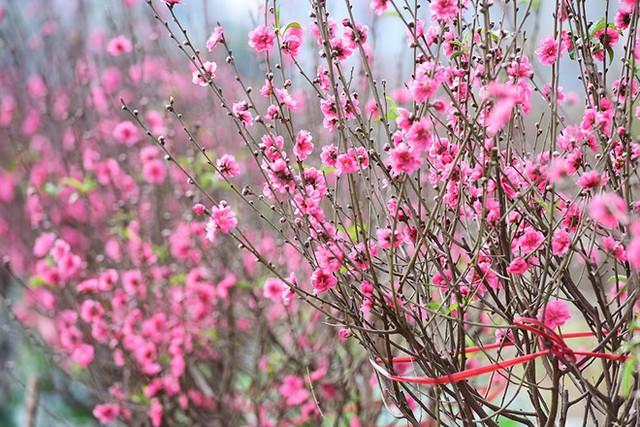 Để có một cành đào đẹp, bạn nên chọn những cành có tán tròn, các nhánh phân bố đều, sau đó chú ý tới hoa. Không nên chọn cành có tán lệch và các nhánh đâm lên không cùng bắt đầu từ một điểm trên thân gốc.