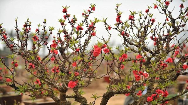 Đào đẹp là đào có dăm vút thẳng ra ngoài tán, nụ trải đều từ đầu tới cuối dăm. Những cành có dăm to thường ít hoặc thưa hoa.