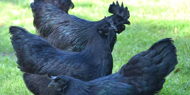 Hiện nay tại đảo Java, giống gà này bị lai tạp nhiều nên tìm được một con giống thuần chủng là cực kỳ khó khăn