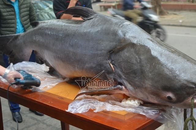 Con cá tra nặng 120kg, giá hơn 100 triệu đồng được đại gia Việt săn lùng để ăn Tết