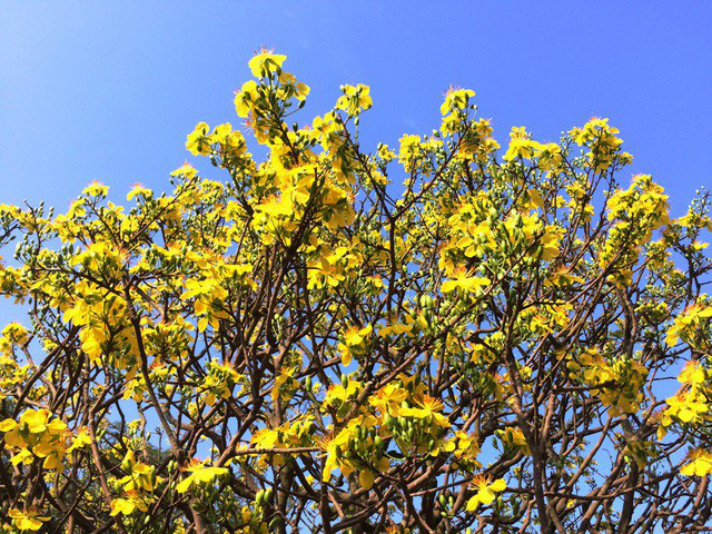 Phần đỉnh mai, hoa vàng rực kết thành từng chùm