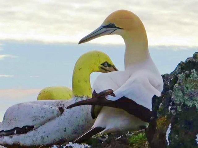 Lỡ đem lòng yêu nàng chim giả, chàng ó biển thật sống đời hiu quạnh và rồi chết mòn trong cô đơn