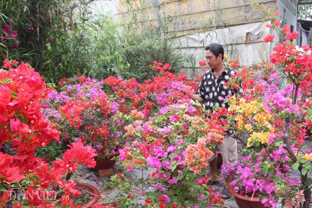 Vườn hoa giấy nhiều màu của anh Truyền
