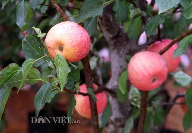 Theo quan sát của PV, mỗi cây táo cảnh cao từ 50 – 100 cm, có khoảng chục quả táo. Quả to, tròn trịa, màu sắc bắt mắt và có mùi thơm dịu nhẹ.