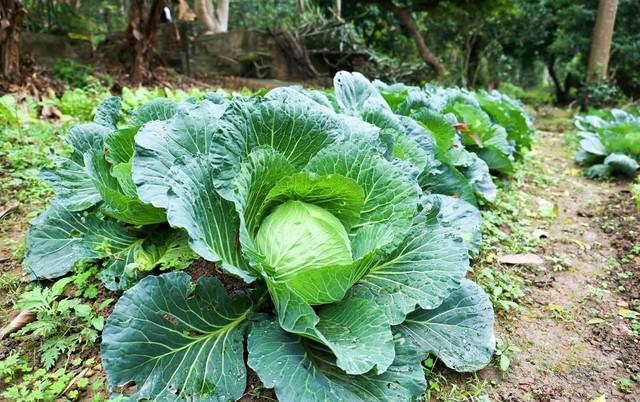 Vốn là người yêu cái đẹp và thích hòa hợp với thiên nhiên, ông Nam trồng ở vườn rất nhiều cây trái, rau củ.