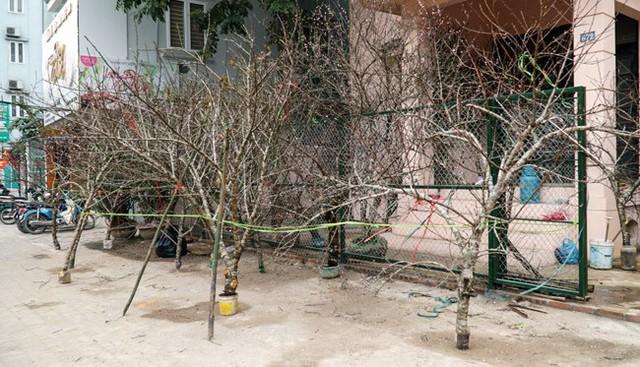 """Đào rừng đổ bộ phố Thủ đô, """"thét giá"""" chục triệu"""