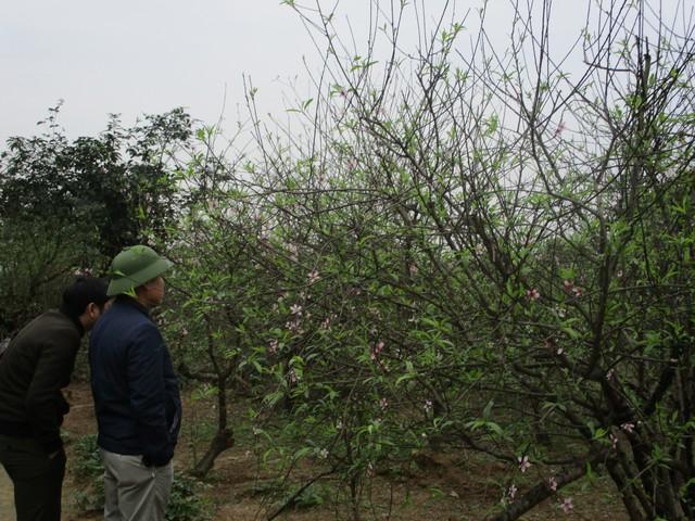 Dù ảnh hưởng bởi bão lũ nhưng hoa đào ở Kỳ Tân vẫn nở đúng dịp Tết