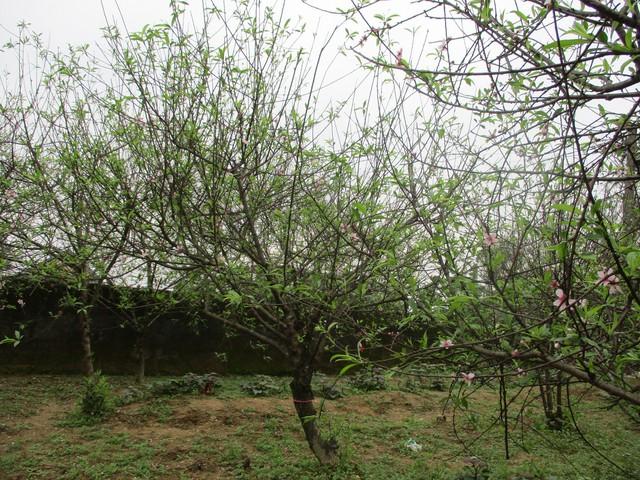 Xã Kỳ Tân đã có 3 năm trồng đào