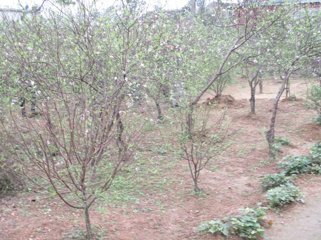 Những gốc đào sẽ được bán, giúp cho người trồng đào có thu nhập để trang trải cuộc sống