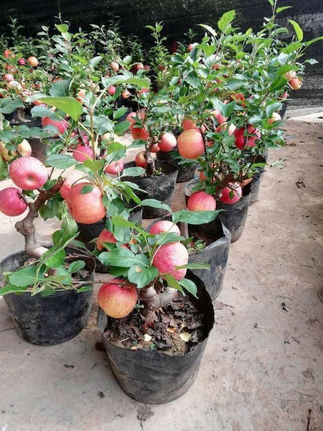 Giá táo cảnh Trung Quốc dao động từ 2,5-5 triệu đồng/cây tuỳ loại