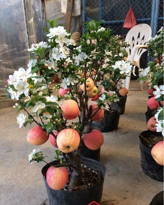 Một chủ buôn cây cảnh tiết lộ rất nhiều cây táo có quả được gắn keo vào cành chứ không phải quả thật