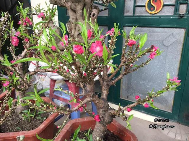 Đào Thất Thốn được bán ngoài chợ có thân cây thẳng, nhẵn bóng.