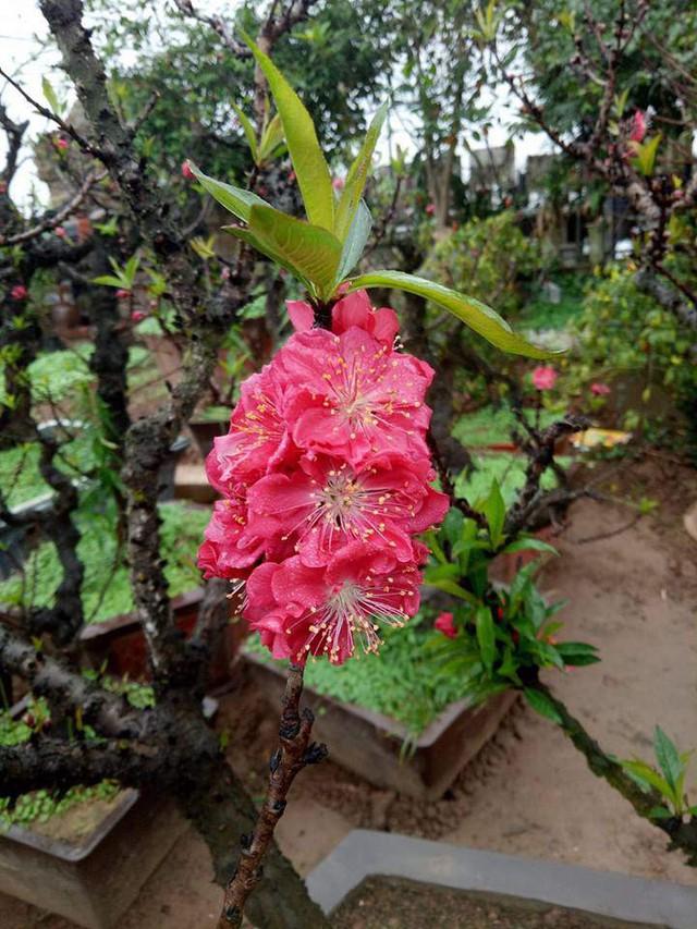 Đào Thất Thốn Nhật Tân hoa tươi và thắm hơn, thân cây đen, xù xì góc cạnh chứ không nhẵn bóng.